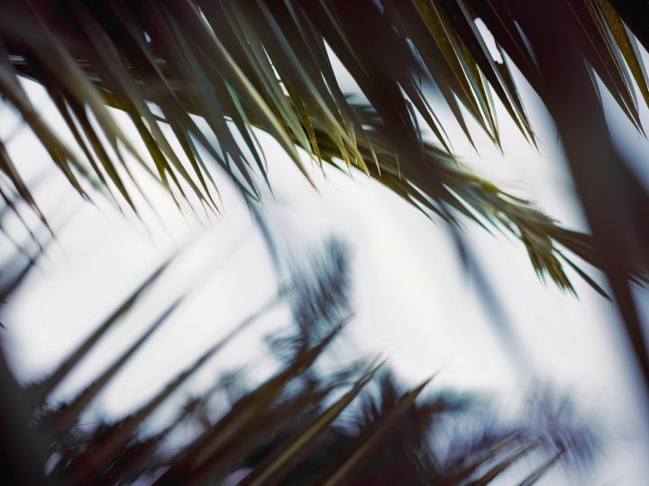 palm fronts
